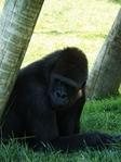 Превью обезьяны в лиссабонском зоопарке (525x700, 315Kb)