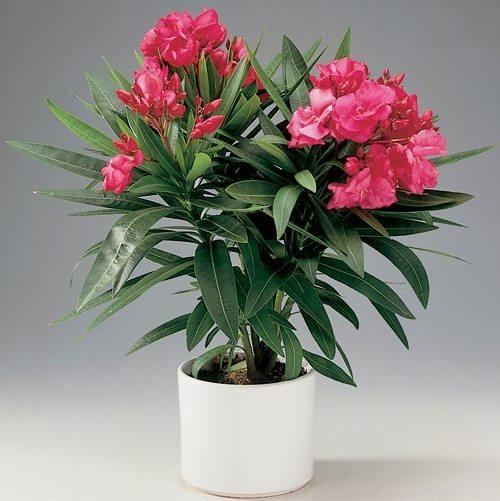 Этот прекрасный цветок таит в себе чудовищную угрозу, так как даже его пыльца ядовита.  Это растение распространено в