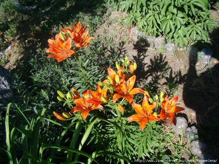Лилии, эшшольции и бабочки 02 (700x525, 425Kb)