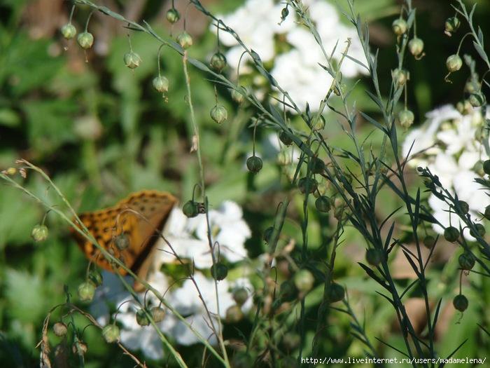Лилии, эшшольции и бабочки 03 (700x525, 245Kb)