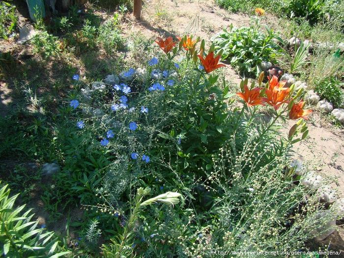 Лилии, эшшольции и бабочки 07 (700x525, 497Kb)