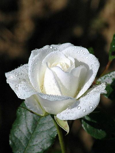 подруге ( белая роза в росе из Ли ру) (400x533, 88Kb)