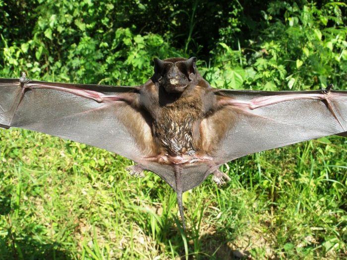 bat_0600 (700x525, 104Kb)