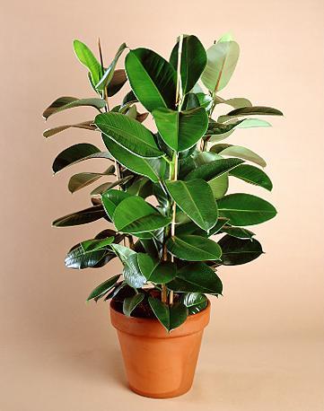 Ficus (361x458, 26Kb)