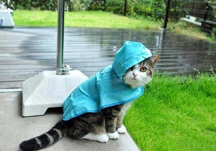 кот ждет дождя (700x491, 110Kb)