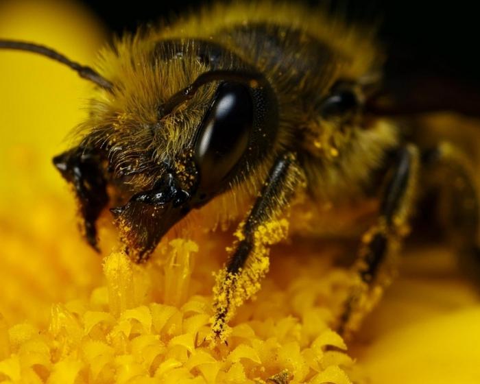 Какой мед и при каких заболеваниях помогает.../4823956_1280x1024_Nasekomoe_pchela_Fonday_ru (700x560, 223Kb)