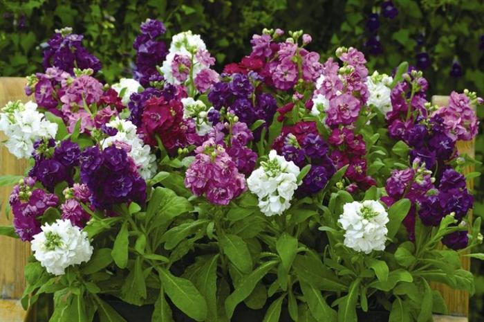 цветы. ночная фиалка. фото