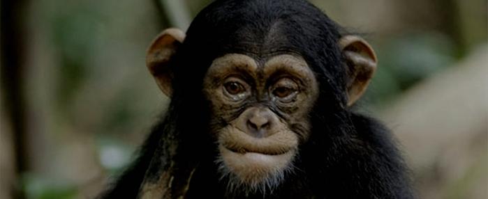 3039108_chimpanzee (700x286, 96Kb)