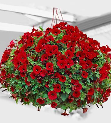 PetuniaScarlet (378x421, 37Kb)