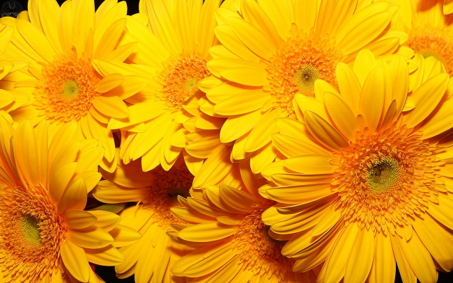 yellow-flowers-hd_tn2 (650x407, 262Kb)