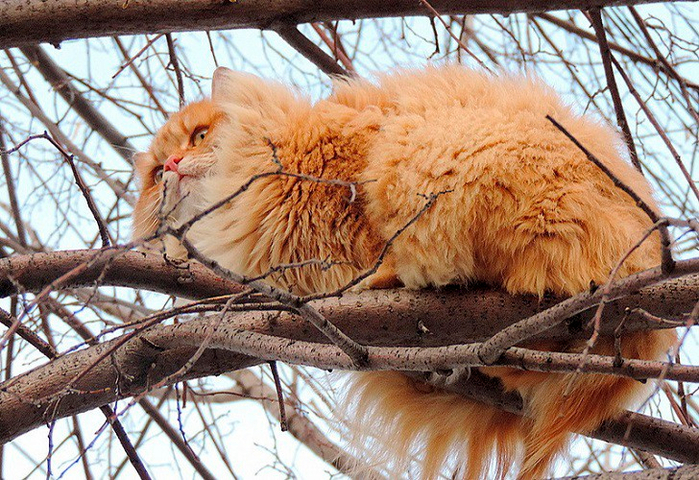 siberian-cats_photo-alla-lebedeva81 (700x480, 532Kb)
