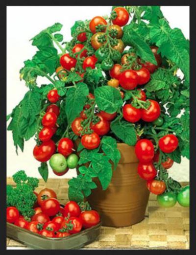 poprobujte-vyrastit-tomaty-v-vedrax-1 (400x521, 43Kb)
