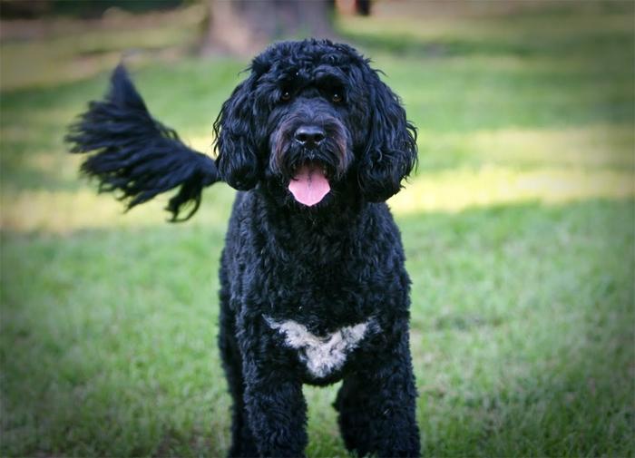 3. Португальская водяная собака (700x505, 304Kb)