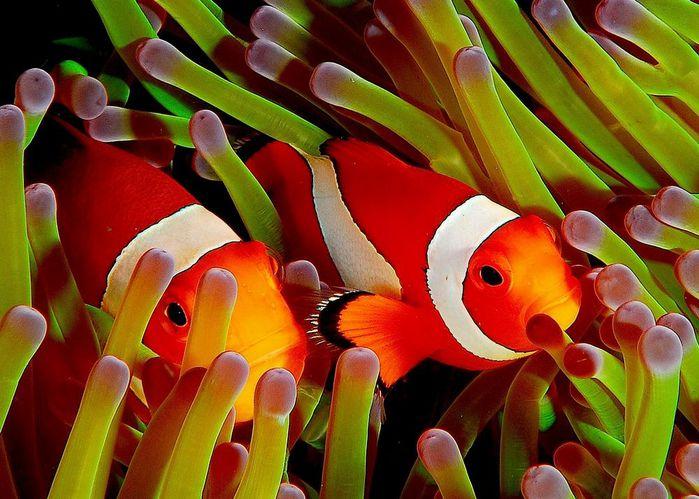 2627134_anemone (700x499, 76Kb)
