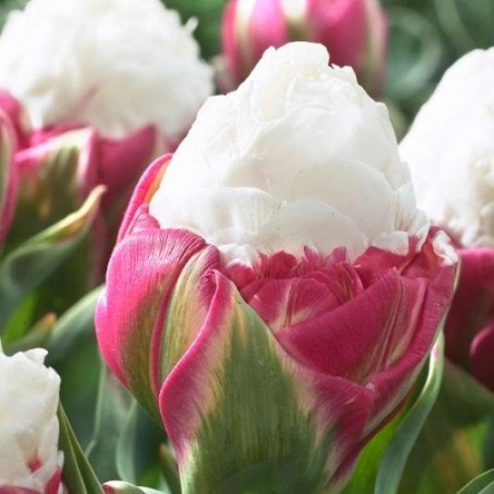 Айс-крим тюльпан купить