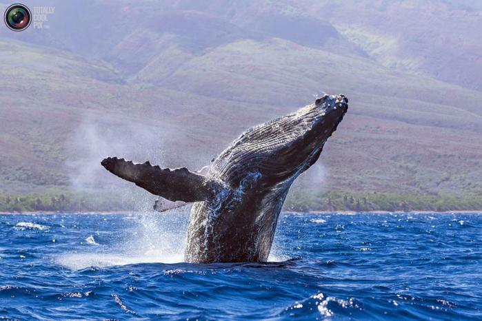 горбатые киты фото 2 (700x466, 374Kb)