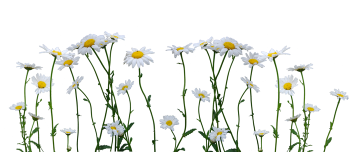 daisies_cut_out_stock_by_eirian_stock-d3is0gs (700x304, 194Kb)