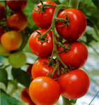 Превью tomato_plants_631 (663x700, 315Kb)