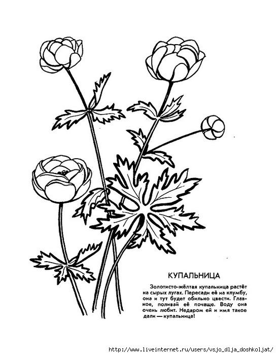 Раскраски растения красной книги 486