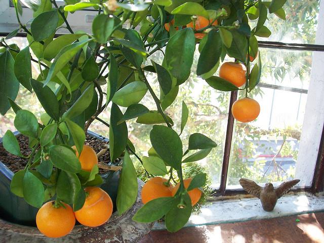 Выращивание цитрусовых как бизнес 90