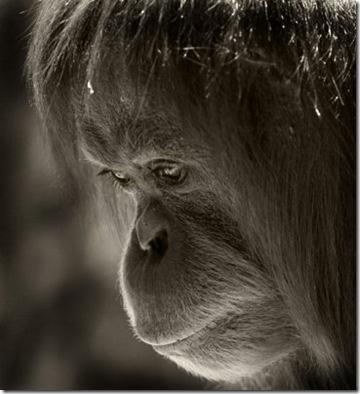 шимпанзе (360x394, 38Kb)