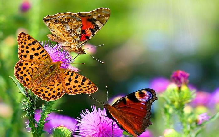 бабочки и цветы 9 (700x437, 371Kb)