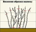 Превью 1305973922_kak-vyrastit-malinu-na-dachnom-uchastke-2 (593x530, 115Kb)