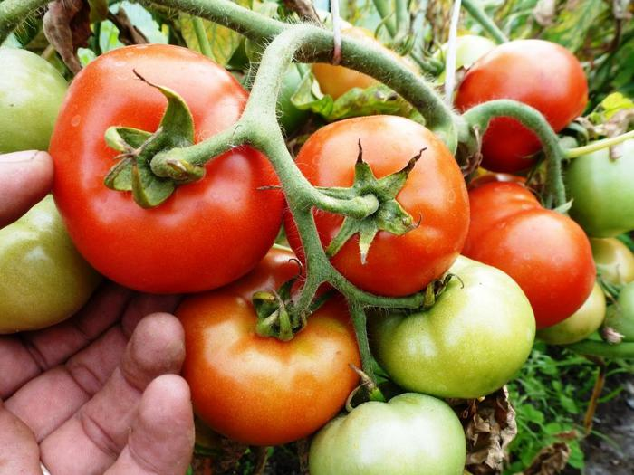 5365358_pomidori_ogorod (700x525, 62Kb)