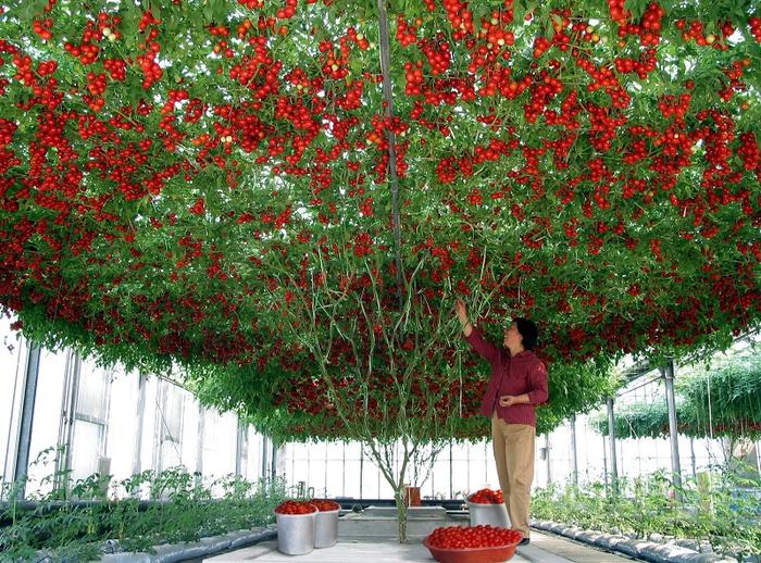 помидорное дерево Спрут F1 1 (700x518, 619Kb)
