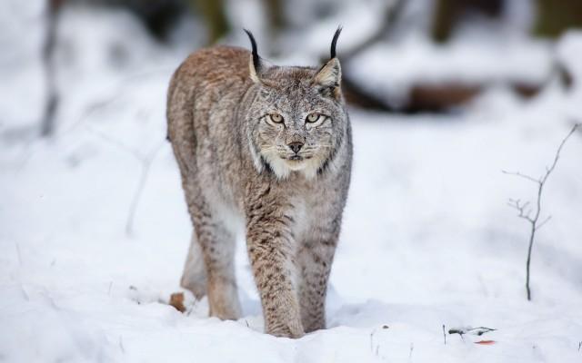 640x400_predator-koshka-cat-lynx-hischnik-snow-sneg-ryis-zima (640x400, 130Kb)