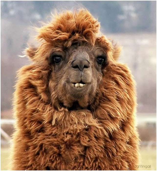 Alpaca-hair-04 (643x700, 308KB)