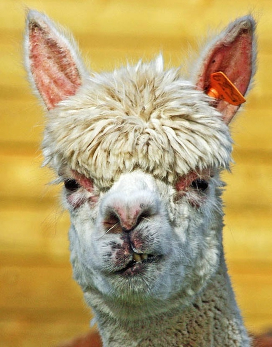 Alpaca-hair-06 (548x700, 258KB)
