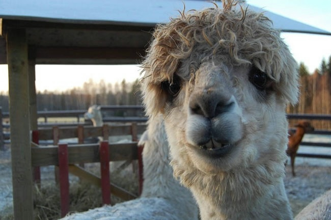 Alpaca-hair-10 (650x432, 109KB)