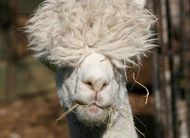 Alpaca-hair-14 (650x471, 99KB)