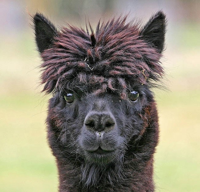 Alpaca-hair-16 (650x624, 206Kb)
