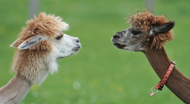 Alpaca-hair-21 (650x356, 86KB)