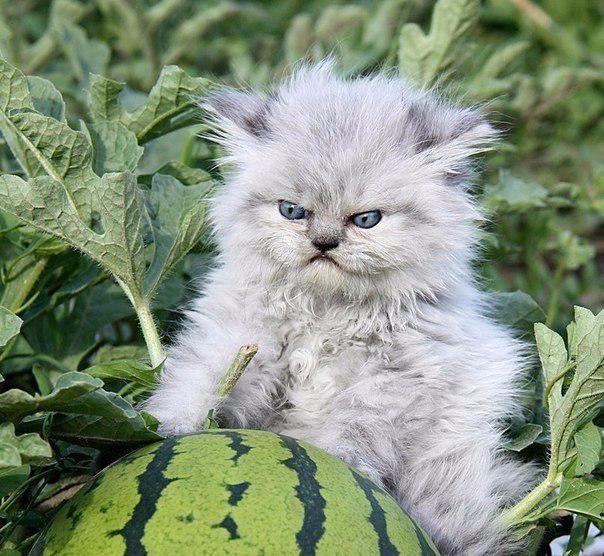 Котенок с арбузом3 (604x556, 327Kb)