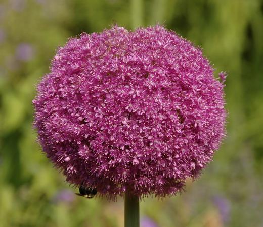 1_Allium (520x450, 88Kb)