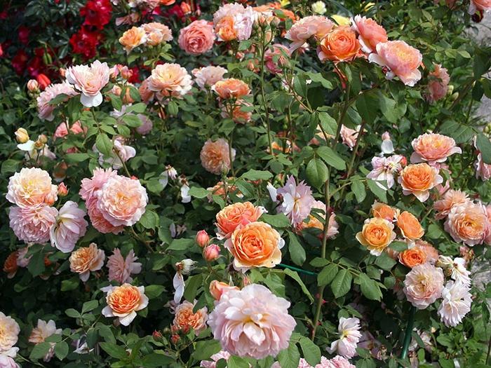 розы ГНБС (700x525, 384Kb)