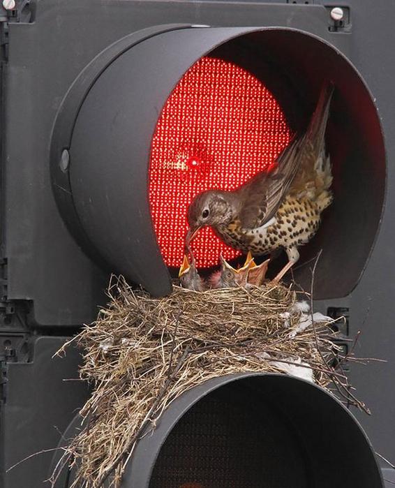 птичьи гнезда в неожиданных местах 1 (566x700, 383Kb)