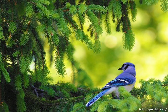4979645_blue_bird960x640 (700x466, 206Kb)