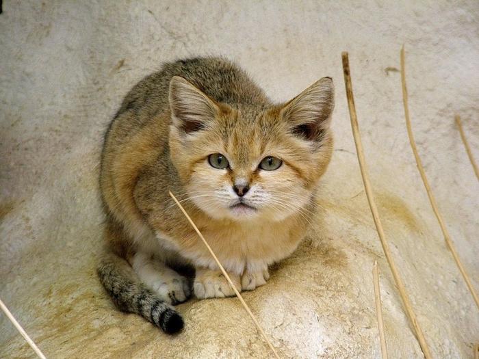песчаные кошки фото 1 (700x525, 401Kb)