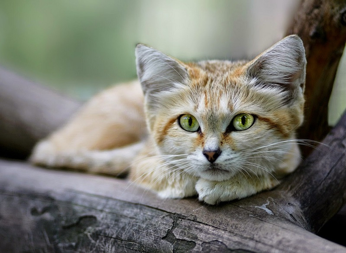 песчаные кошки фото 4 (700x511, 310Kb)