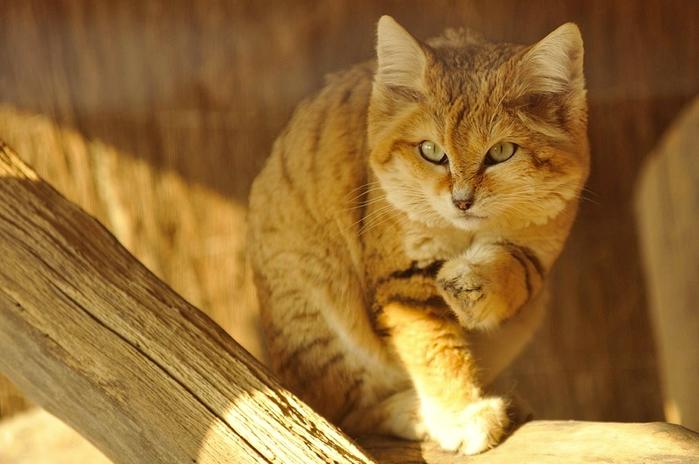 песчаные кошки фото 7 (700x464, 336Kb)