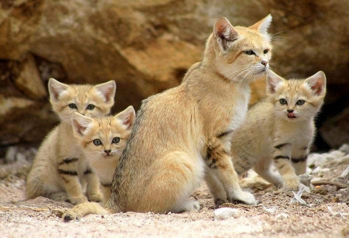 песчаные кошки фото 8 (700x476, 365Kb)