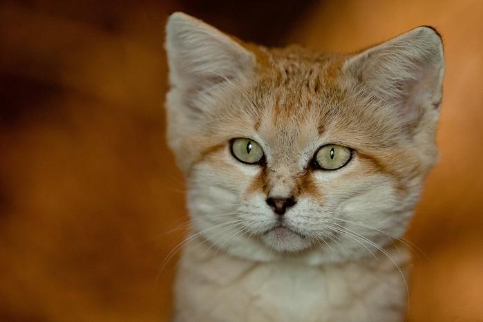 песчаные кошки фото 10 (700x466, 262Kb)