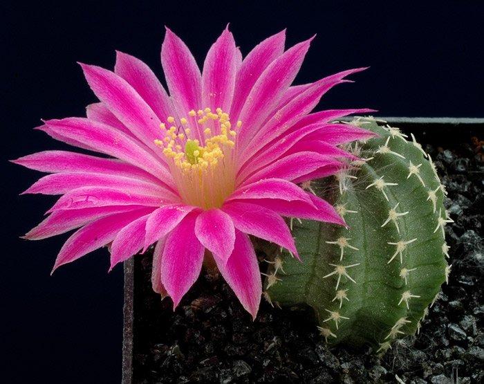Цветки кактуса