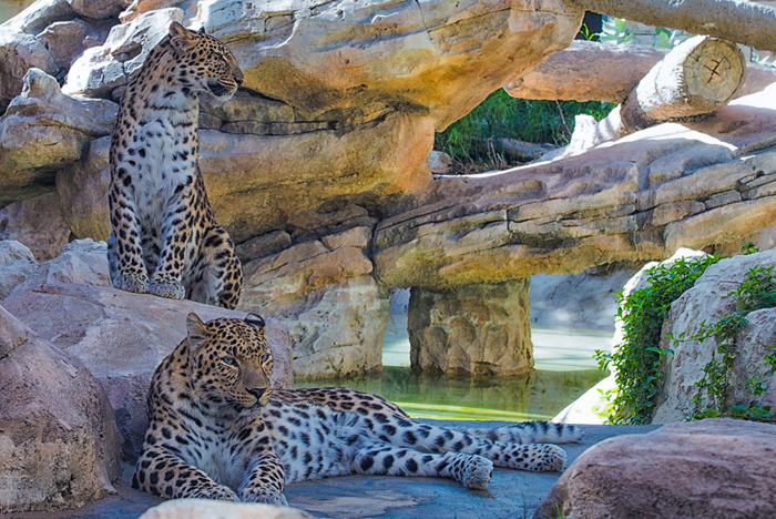 The Leopards at Leisure (700x468, 507Kb)