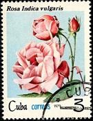 Куба Роза 1 (135x176, 24Kb)