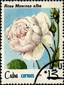 Куба Роза желтая 3 (131x174, 23Kb)